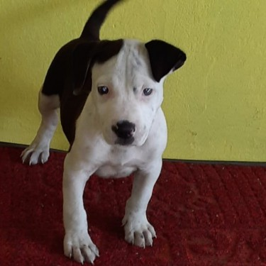 8 Weeks Old Male Bully Pup