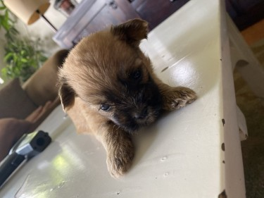 Shih- Pom Puppies For Sale!