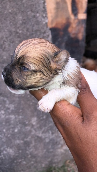 Pomeranian Pups Rare Colors