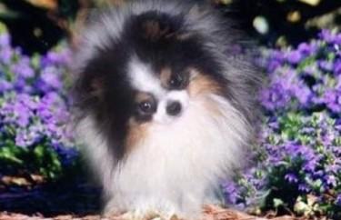 Rare Color Adorable Pomeranian Puppy