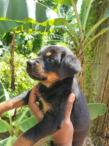 Rottweiler X German Shepherd Rotti Pups