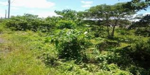 50 Acres St Ann Lily Field Off Bamboo Road