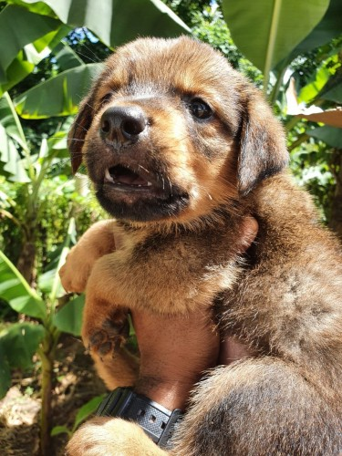 Rotti Mix Pups For Sale WhatsApp For More Info