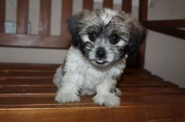 Male Shih Tzu Puppy- Whatsapp Only