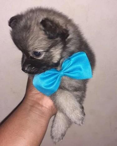 Male Pomeranian Pups