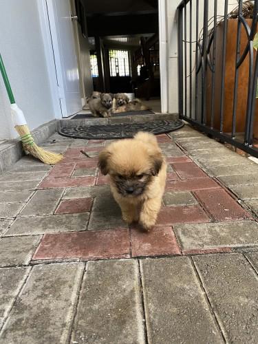Shih- Tzu Pomeranian Puppies For Sale!!