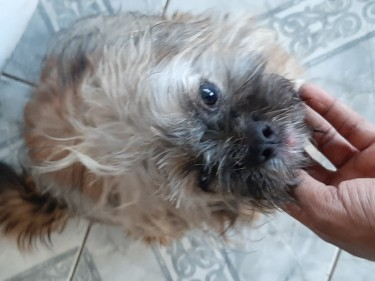 Shih Tzu Male Full Grown With All Shots