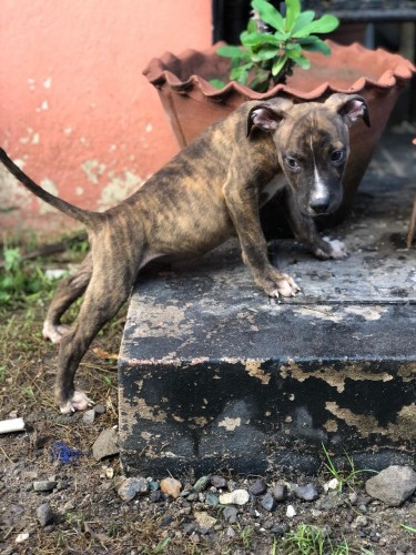 Pitbull Pups For Sale