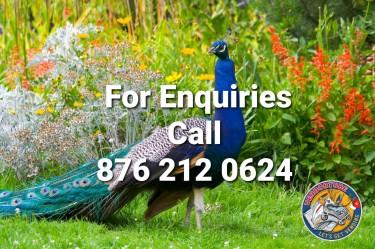 Peacocks For Sale