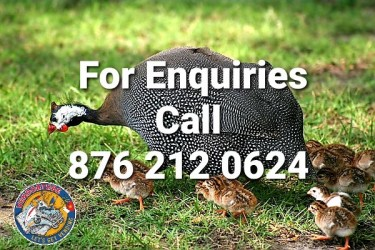 Guinea Chicks For Sale (Per Pair)