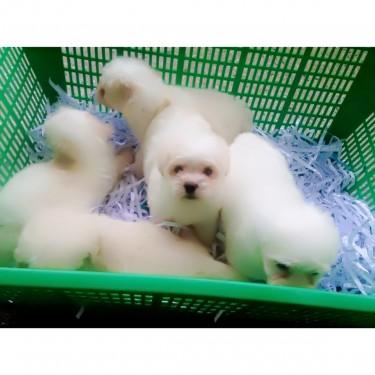Shih Tzh Poodle Mix