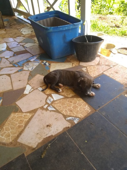 Pit Bull For Sale Call For Details