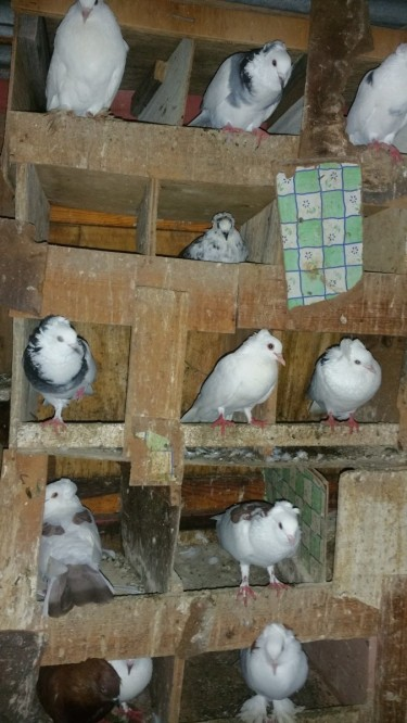 Birds For Sale 2500 For A 2....