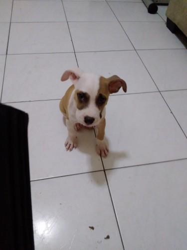 Pitbull Pup For Sale Chezp