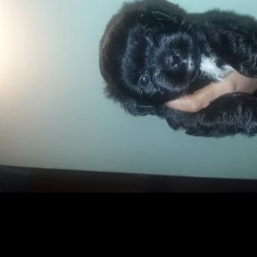 Shih Tzu Pomeranian Mixed Puppy