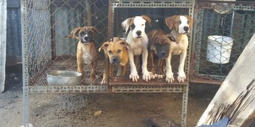 22 Wks Bulldog X Frenchmastiff Mix Pups