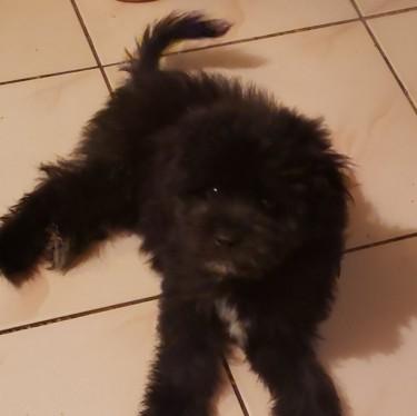 Male Shih-tzu Mix Pomeranian Puppy