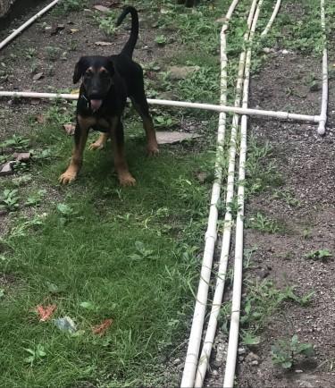 10 Weeks Male Doberman  Shepherd Puppy