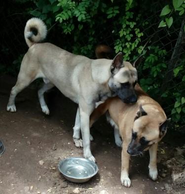 6 Weeks Old Akita/Rottweiler Mix Pups