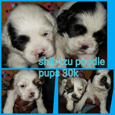 Adorable Shih-Tzu Poodle Pups