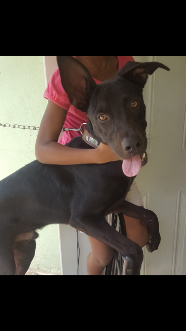 Pitbull Labrador Mix Breed 7 Months Old (vaccinate