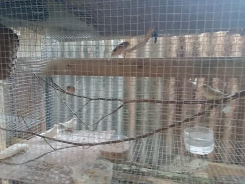 Zebra Finch<br /> Birds