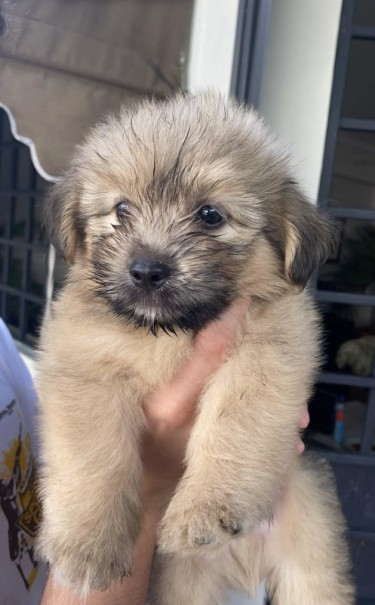 Two Shih Tzu Pomeranian Puppies For Sale!