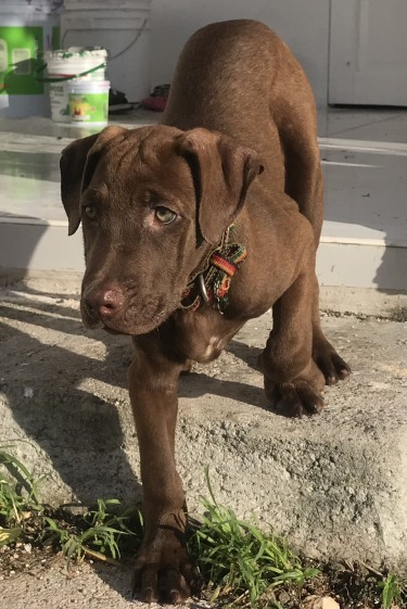 Fully Vaccinated Pit Mastiff For Sale (10 Weeks)