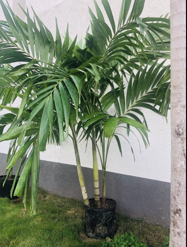 Luxury Palm Trees