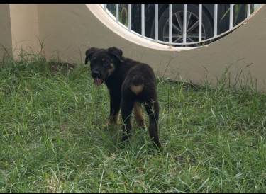 Male Rottweiler/Shepherd For Sale (vaccination 1)