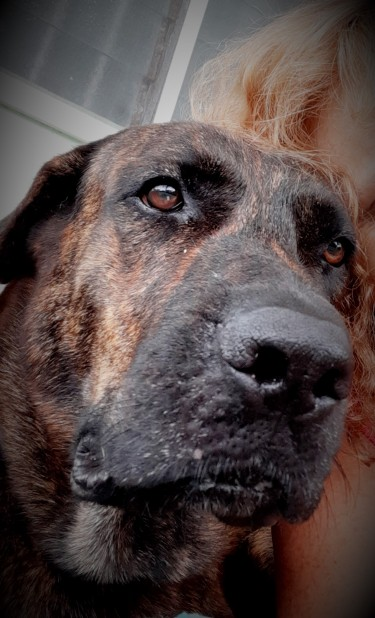 KASHI 4 Years Old Great Dane/Rottweiler Female