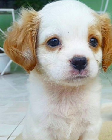 Adorable Female Puppy