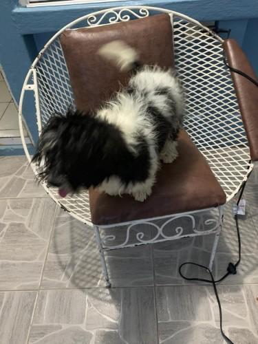 Shih Tzu Puppy 6 Months Old
