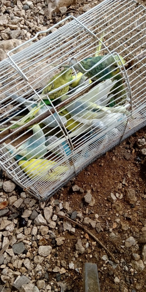 Budgie Available Now