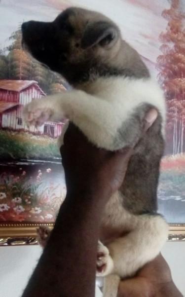 Akita Female Pups 10 Weeks Old