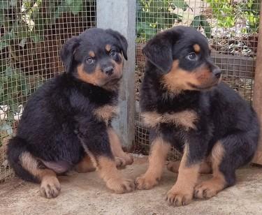 Unregistered Purebred Rottweiler Puppies