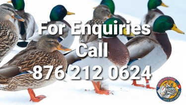 Mallard Ducks For Sale In Jamaica (Imported