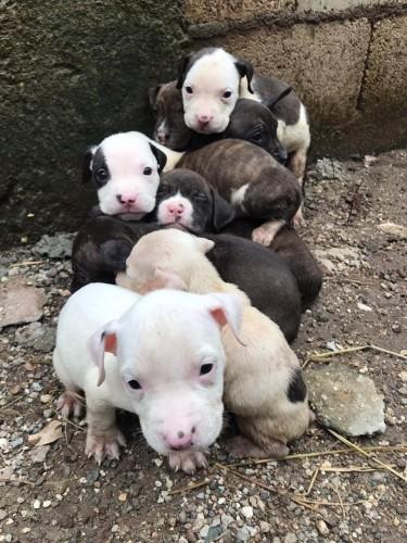 Full Pitbull Breed For Sale