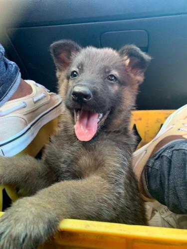 Full Bred German Shepherd Pup