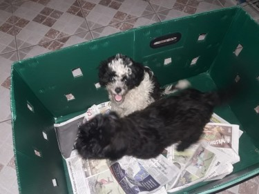 Shihpoo Puppies - Female