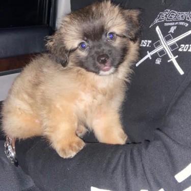 3/4 Pomeranian 1/4 Shihtzu Puppy