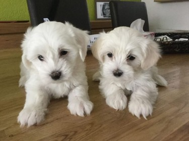 Gorgeo Teacup Maltese Puppies Needs A New Family