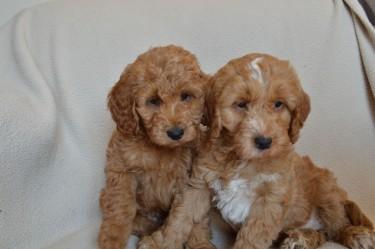 Healthy Poodle Puppies