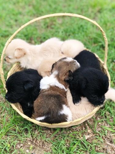 Pomeranian Mixed Shih Tzu