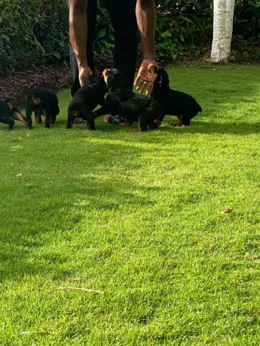 Pure Bred Rottweiler Pups