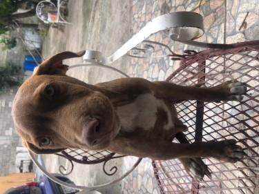 Pitbull/mastiff Puppy
