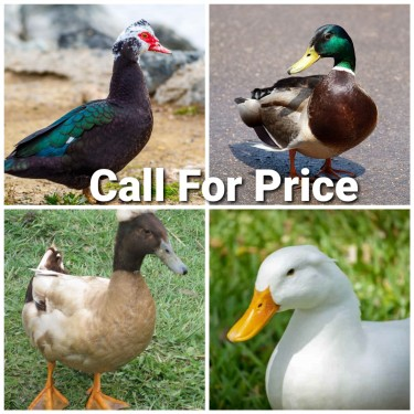 Imported Ducks For Sale
