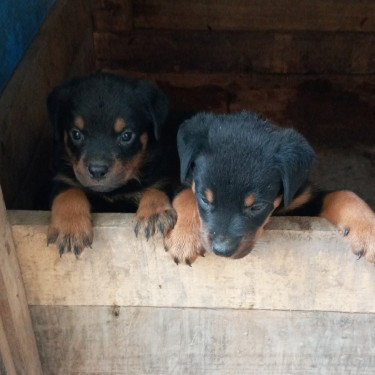 Unregistered Rottweiler Puppies