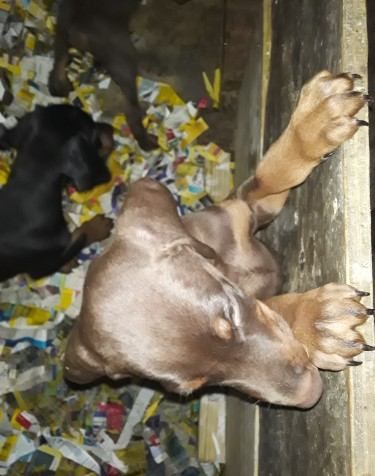 Registered Doberman Puppies For Sale!!!