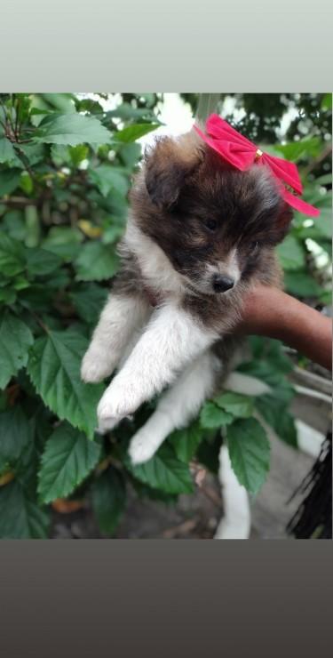 Shiranians ( Shihtzu Mix Pomeranian)